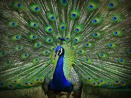 Today is National Dancing Peacock Day