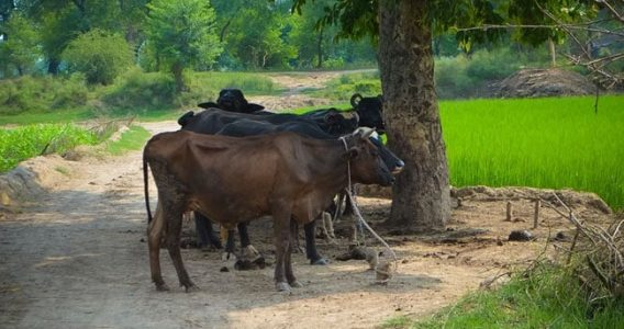 The strange tale of the drunk cattle